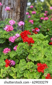 Red and Pink Geranium Flowers in a garden setting