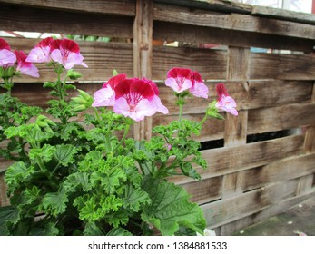 Red and pink geranium in front of wooden fence