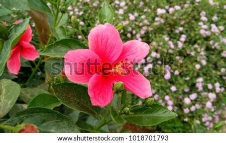 Red Pink Hibiscus Flower Background Wallpaper Stock Photo Edit Now