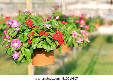 Red and pink of Madagascar periwinkle, Madagascar periwinkle, Catharanthus roseus, Vinca flower plant in hanging flower pot, in nursery.