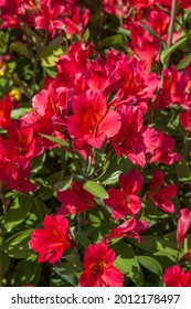 Red pink Peruvian Lily plant in bloom