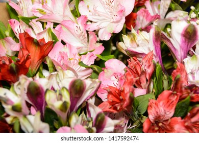 Red, pink and purple alstroemeria flowers. A large bouquet of multi-colored alstroemerias in the flower shop. Colorful alstroemeria texture. Many alstroemerias