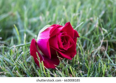 Red, pink rose on green grass background