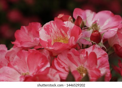 Red pink roses blooming with many flowers