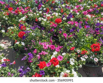 Red, pink, violet and white Surfinia aka Petunia flowers