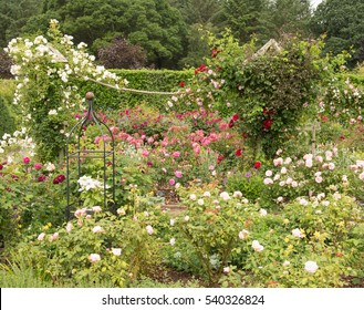 Red, Pink and White Roses (Rosa) Trailing over a Wooden and Rope Pergola in a Country Cottage Garden in Rural Devon, England, UK.