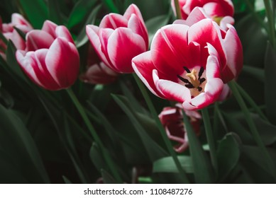 Red, Pink and White Tulips with Green Stems, Close up, Amsterdam, Holland