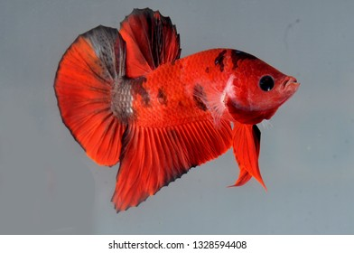 red plakat betta fish
