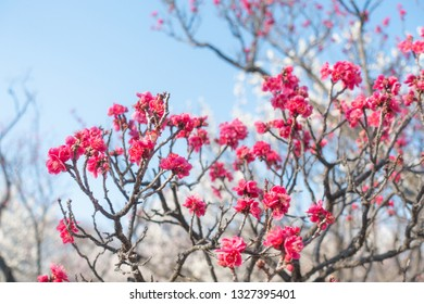 Red plum blossoms during spring at Japan.