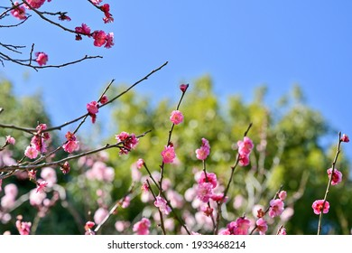 Red plum flowers in full bloom are shining in the early spring sunshine
