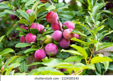 Red plum fruits on branch with green leaves growing in the garden. Plum. Plum on branch. Plum ripe