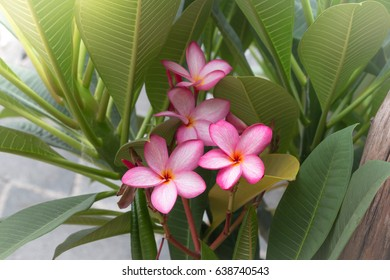 Red Plumeria Flower with Leaves use for Wallpaper or Background