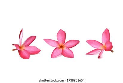 Red plumeria flower on white background
