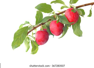 Red plums on the branch isolated on a white background