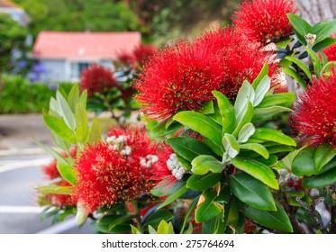 red pohutukawa flowers