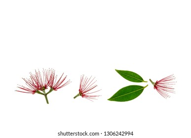 red pohutukawa tree flowers in bloom with leaves on white background