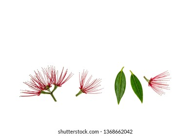 red pohutukawa tree flowers and leaves on white background with copy space above