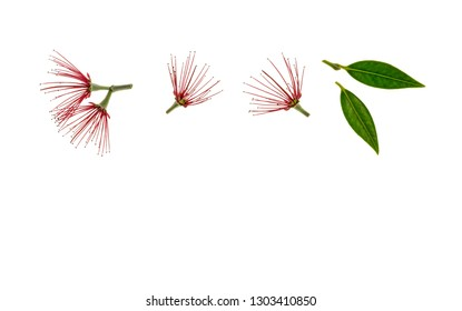 red pohutukawa tree flowers on white background with copy space below