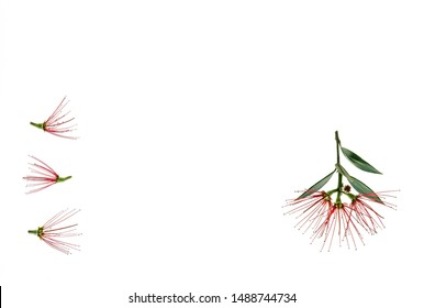 red pohutukawa tree flowers on white background with copy space in middle