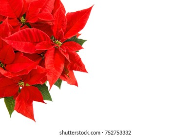 Red poinsettia blossom with green leaves. Christmas flower isolated on white background