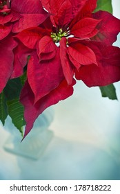 Red Poinsettia with Blue Vase. Shot with copy space
