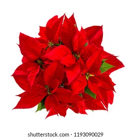 Red poinsettia. Christmas flower isolated on white background. Top view