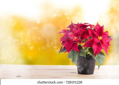 Red poinsettia christmas flower on the table.