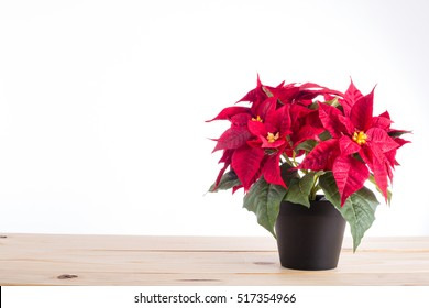 Red poinsettia christmas plant with isolated white background.