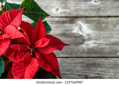 Red poinsettia. Christmas traditional flower on wooden table