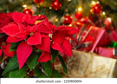 Red Poinsettia (Euphorbia pulcherrima), Christmas Star flower. Festive red and golden holiday background with Christmas tree and presents.