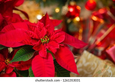 Red Poinsettia (Euphorbia pulcherrima), Christmas Star flower. Festive red and golden holiday background with Christmas tree and presents. Close-up.