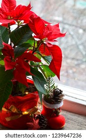 Red Poinsettia (Euphorbia Pulcherrima) in a flower pot with garland lights on the window.Winter festive decoration with Christmas star or Star of Bethlehem plant.Selective focus.