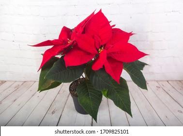 Red poinsettia (Euphorbia pulcherrima) in flowerpot on wooden background