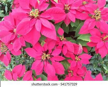 Red Poinsettia (euphorbia pulcherrima) in the garden