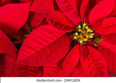 Red poinsettia flower (Euphorbia pulcherrima), aka Christmas Star, closeup