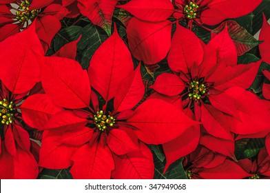 Red Poinsettia Flower, Euphorbia Pulcherrima, Nochebuena