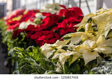 Red Poinsettia flowers in greenhouse setting for Christmas holiday