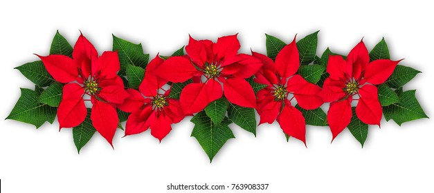 Red Poinsettia flowers in row, Euphorbia pulcherrima, christmas ornament