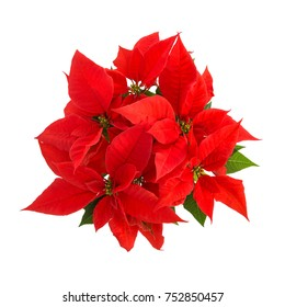 Red poinsettia with green leaves. Christmas flower isolated on white background. Top view