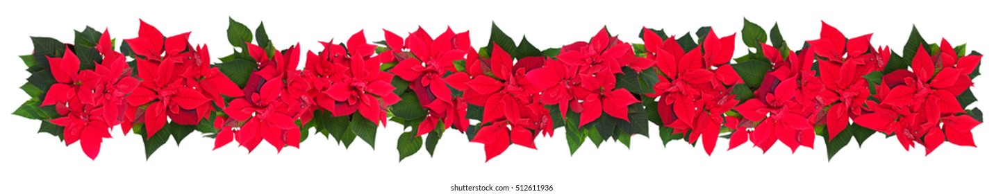 Red poinsettia isolated on a white background.Border