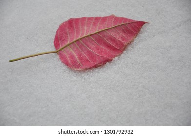 Red poinsettia leaf in a snowy ground