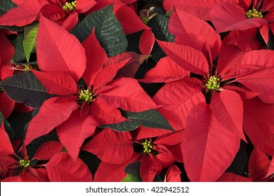 Red Poinsettias for Christmas Decorations