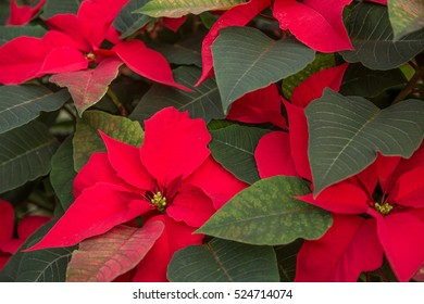 Red poinsettias and their green foliage fill the frame
