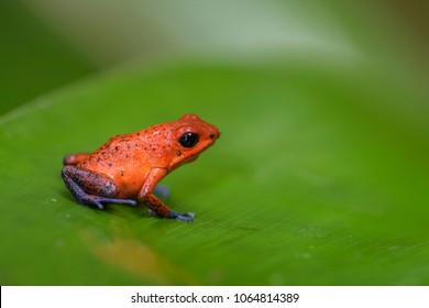 Red Poison Dart Frog - Oophaga pumilio, beautiful red blue legged frog from Cental America forest, Costa Rica.