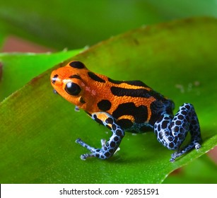 red poison dart frog sitting on green leaf in amazon rain forest of Peru exotic tropical  poisonous animal with warning colors rainforest Dendrobates, ranitomeya imitator