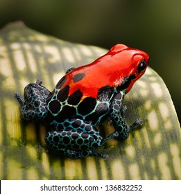 red poison dart frog. Tropical amphibian from Peru rain forest, a red morph of Ranitomeya amazonica (Arena Blanca) These animal are often kept as exotic pet in a terrarium.