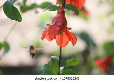 Red Pomegranate Flower And hony Bee