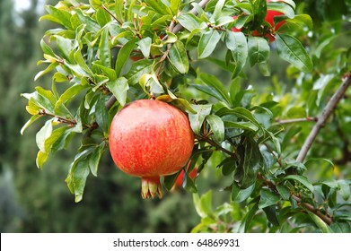 Red pomegranate fruit on the tree in leaves