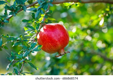red pomegranate with green leaves growing in the garden