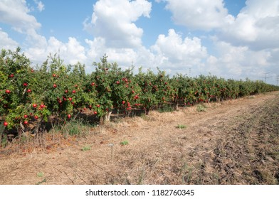 Red Pomegranate orchard
